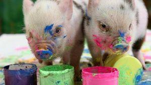 Mini Porcos, Mini Suinos, Porquinhos miniatura